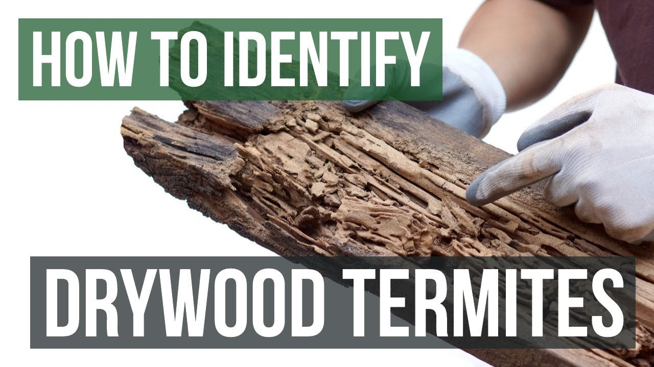 Drywood Termites Types Threats Treatments Treat